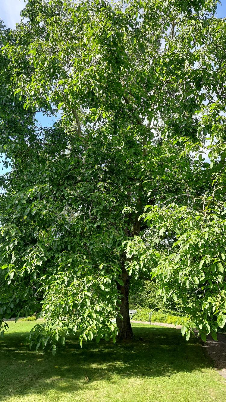 Ein wunderschöner Walnussbaum