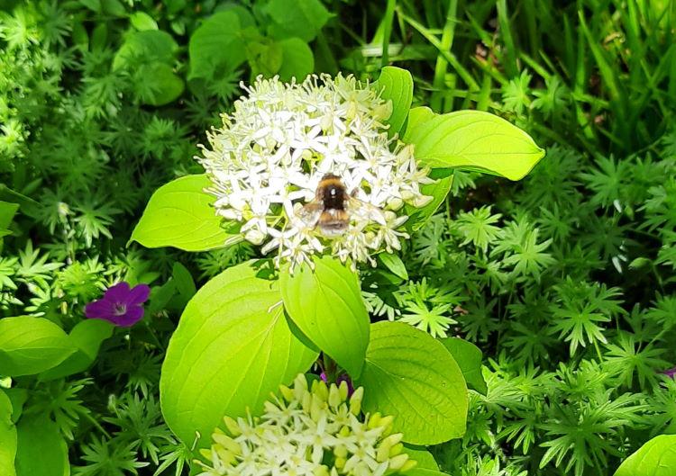 Blüte mit einer dicken Hummel