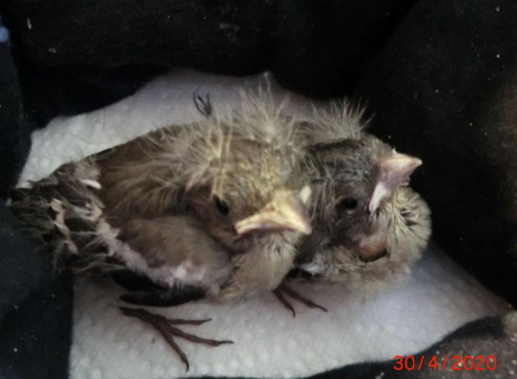 Zwei Buchfinken wurden gerettet