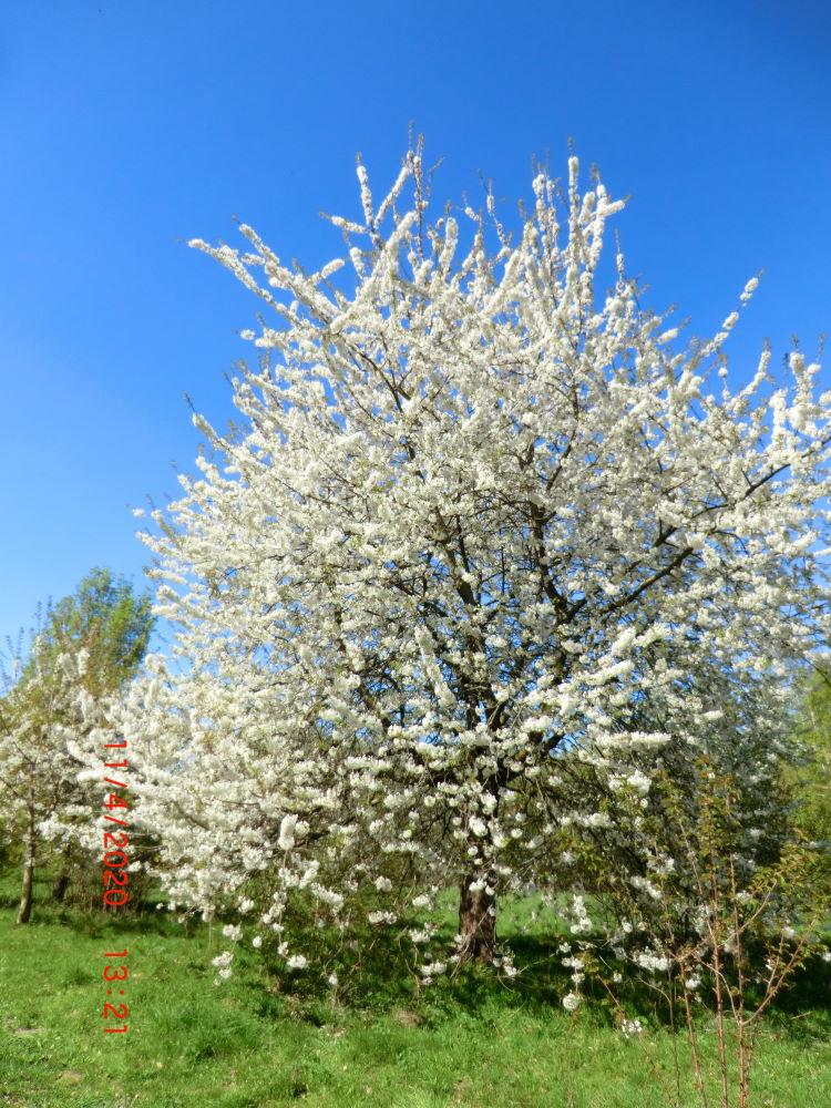 Ein Kirschbaum im Frühling